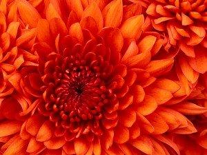 Fleur de saison!!!!!! (=   chrysanthemum-300x225
